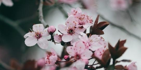 Primăvara se coc cireșele