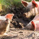 pestă porcină